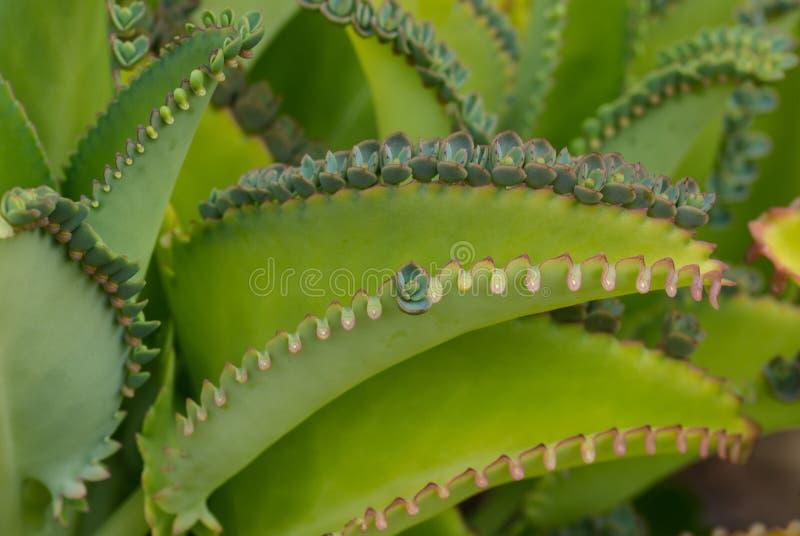 Moder av tusentalsväxten arkivbild