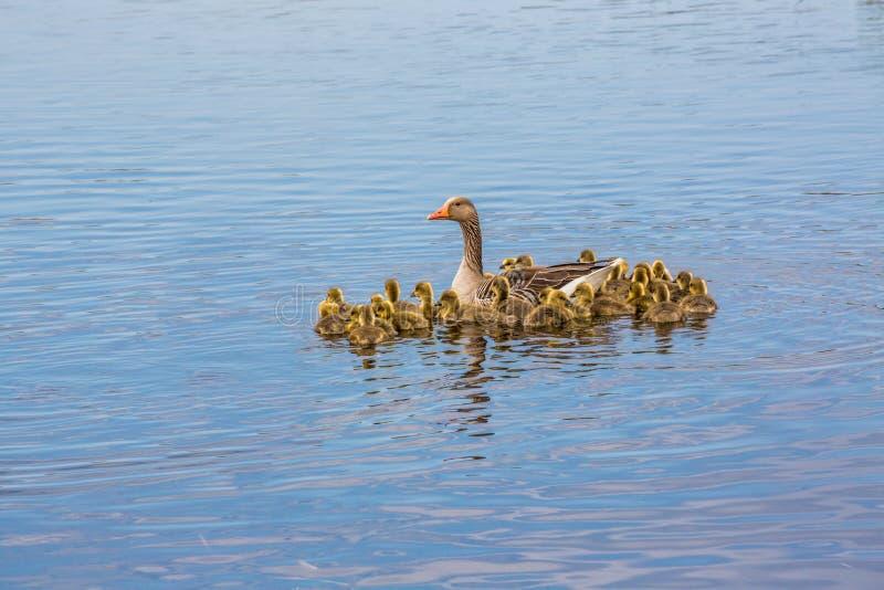Moder för grågåsgås med hennes stora familj av fågelungar royaltyfri bild