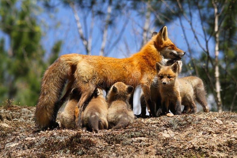 Moder för röd räv som vårdar satser royaltyfria bilder