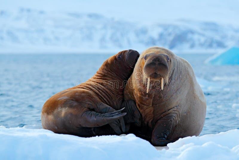 Moder med gröngölingen Ung valross med kvinnlign Arktiskt landskap för vinter med det stora djuret Familj på kall is Valross Odob fotografering för bildbyråer