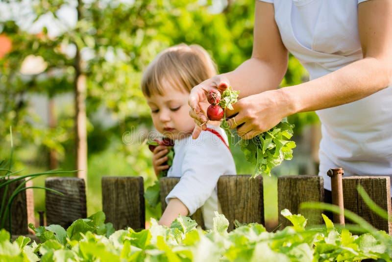 Moder och barn som upp väljer rädisor royaltyfria bilder