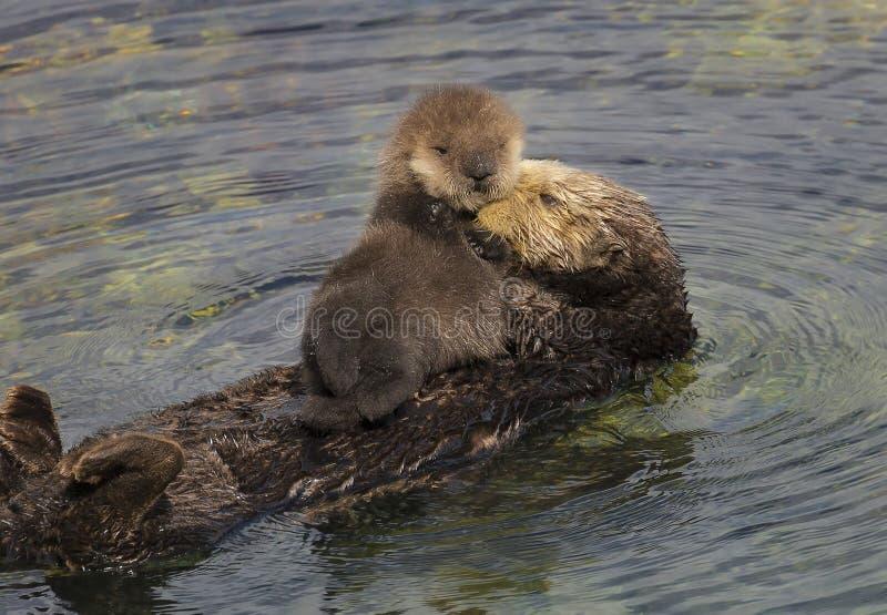 Moder och valp för havsutter arkivfoton