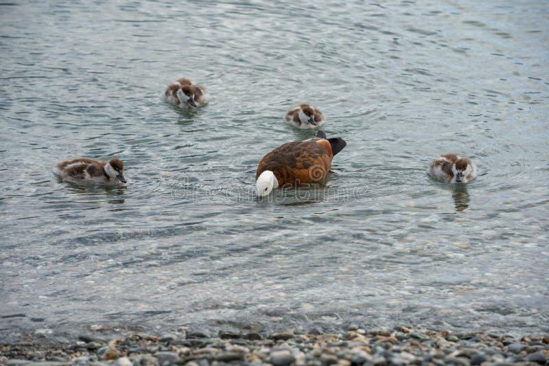 Moderanden är undervisa hennes ankungar hur man finner mat i det grunda vattnet av sjön Wakatipu royaltyfri foto