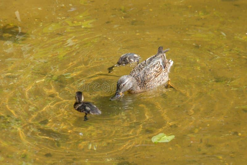 Moderanden med två ankungar simmar och dyker i grunt klart vatten royaltyfri foto