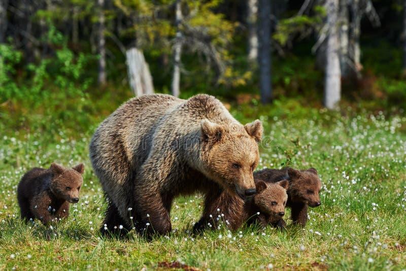 Moderbrunbjörn och hennes gröngölingar fotografering för bildbyråer