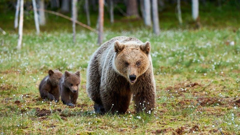Moderbrunbjörn och hennes gröngölingar royaltyfria bilder