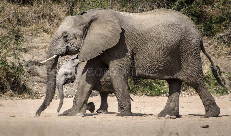Moderelefant som skyddar hennes kalv royaltyfri bild
