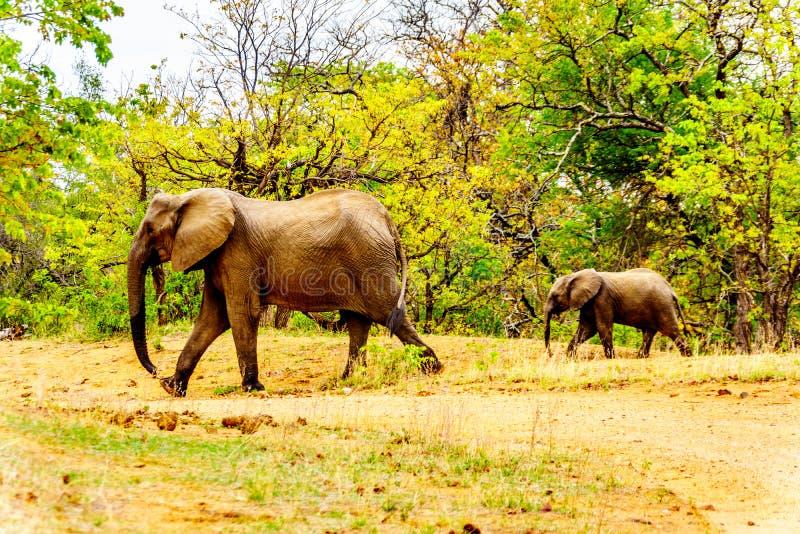 Moderelefanten med en kalvelefant i Kruger parkerar i Sydafrika arkivfoton