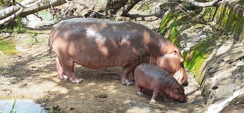 ModerFLODHÄSTEN med behandla som ett barn flodhästen arkivbilder