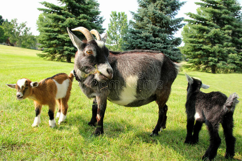 Modergeten och två behandla som ett barn äta gräs royaltyfri fotografi