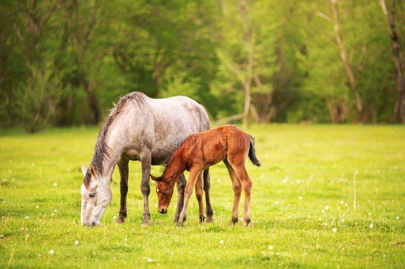Moderhästen med hennes föl som betar på en vårgräsplan, betar mot en bakgrund av den gröna skogen i inställningssolen arkivbild