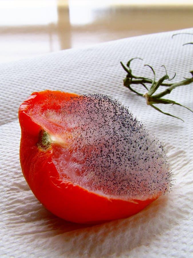 Moderige Tomate stockfotos