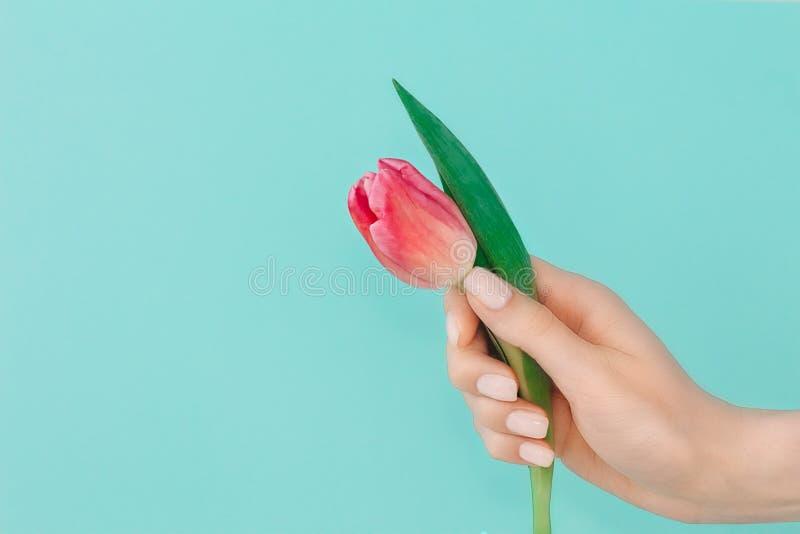 Moderiktig vårmanikyr Den kvinnliga handen med spikar design på ljust - blå turkosbakgrund som rymmer den rosa tulpanblomman kopi arkivbilder