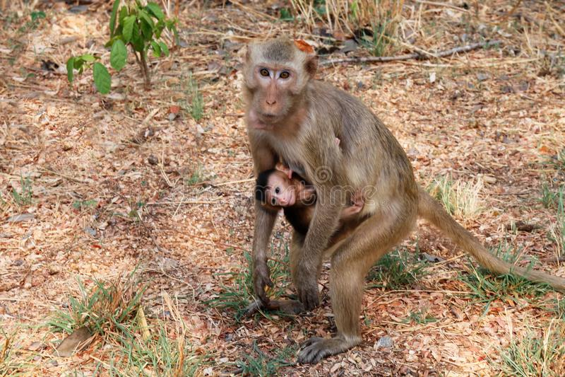 Moderinnehavet behandla som ett barn apan och matning av aporna i det löst royaltyfri bild