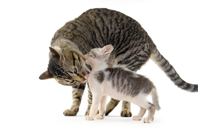 Moderkatt som slickar hennes kattunge royaltyfria bilder