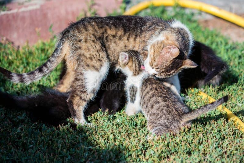 Moderkatt som utomhus slickar hennes kattungebarn fotografering för bildbyråer