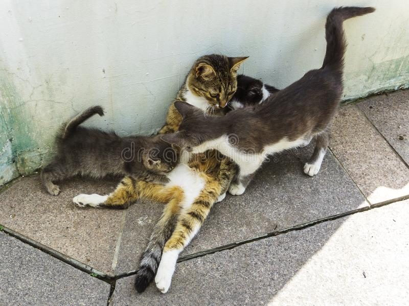 Moderkatten som matar och tar omsorg av tre kattungar på stengolv på, parkerar kattungar dricker mjölkar och spela med mamman på  royaltyfri foto