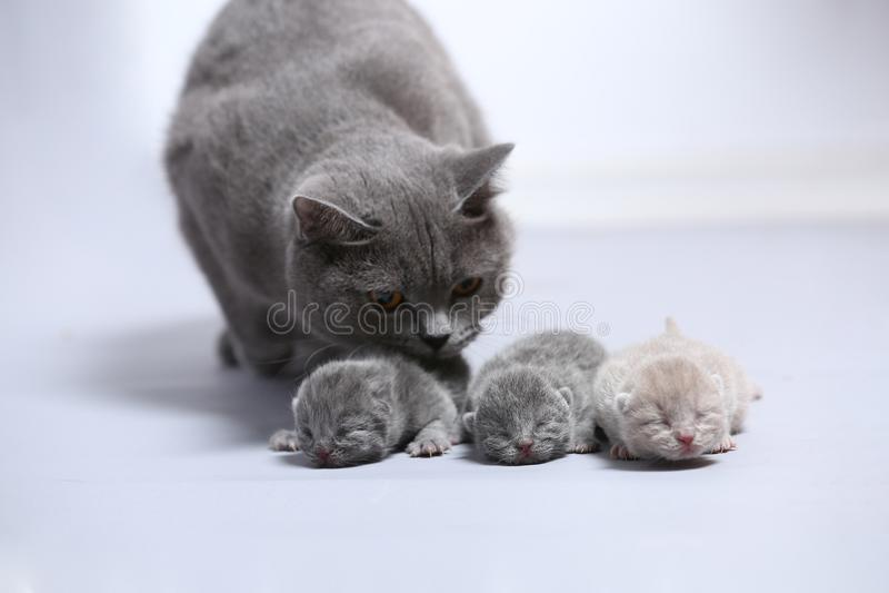 Moderkatten tar omsorg av henne nyligen uthärdade kattungar royaltyfri foto