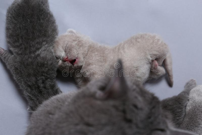 Moderkatten tar omsorg av henne nyligen uthärdade kattungar arkivbilder