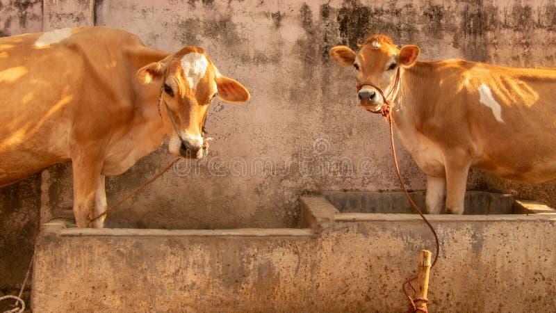 Moderko och ung ko arkivbilder