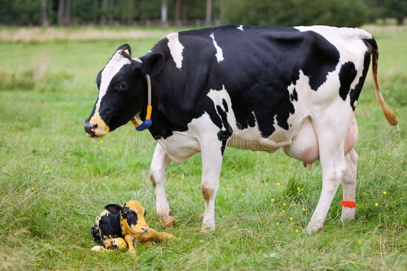 Moderkon med den nyfödda kalven betar på royaltyfria foton