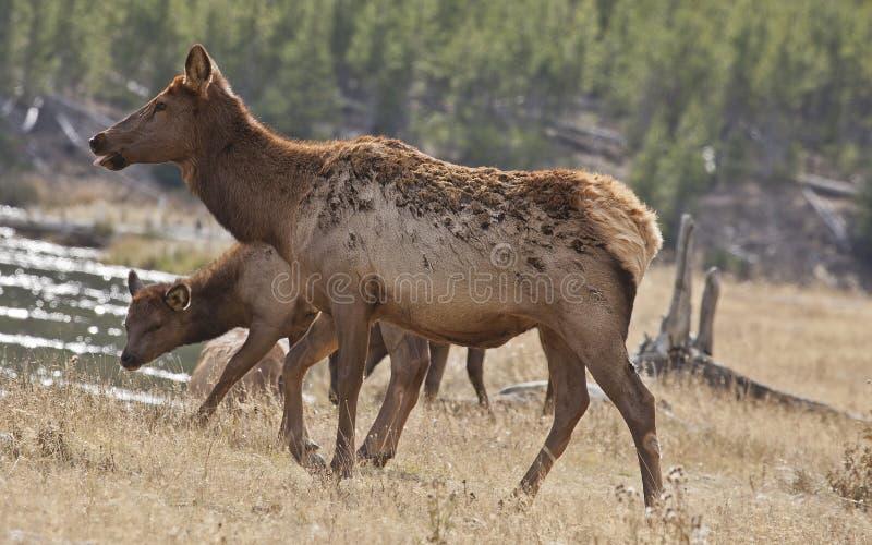 Modern behandla som ett barn älgen, den Yellowstone parken, WY royaltyfri fotografi