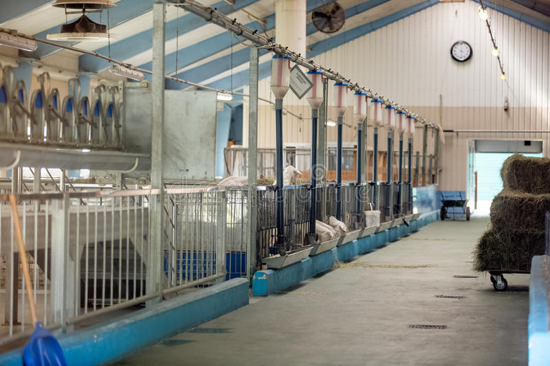 Modern cowshed on farm. Interior of modern cowshed on farm royalty free stock images