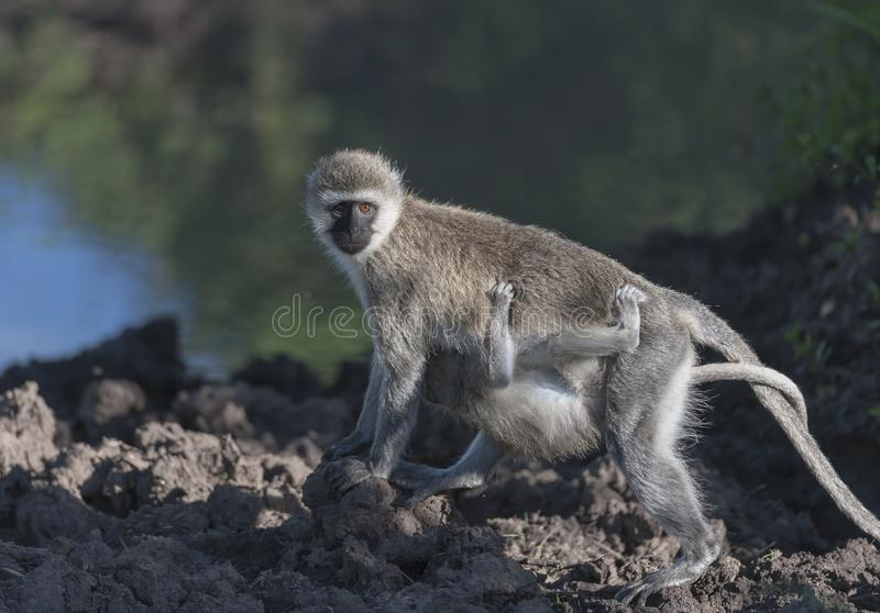 Modern för den Vervet apan, den Chlorocebus pygerythrusen som går över, vaggar royaltyfri fotografi