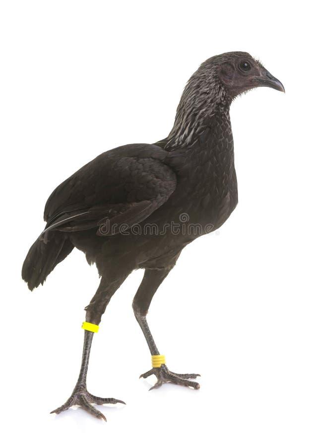 Free Modern Game Fowl Royalty Free Stock Photo - 91489415
