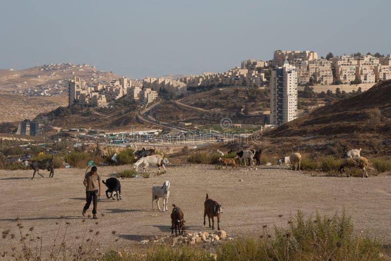 Modern goatherd in Israel stock photo
