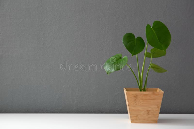 Modern leafy plant in wooden pot stock photos
