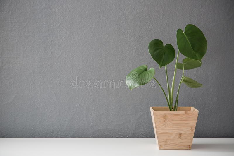 Modern leafy plant in wooden pot royalty free stock photo