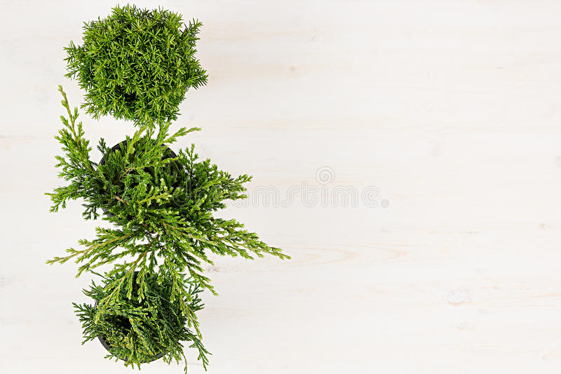 Modern, minimalist composition with border of conifer plants in pots top view on white wooden board background. Blank copy space. royalty free stock photos