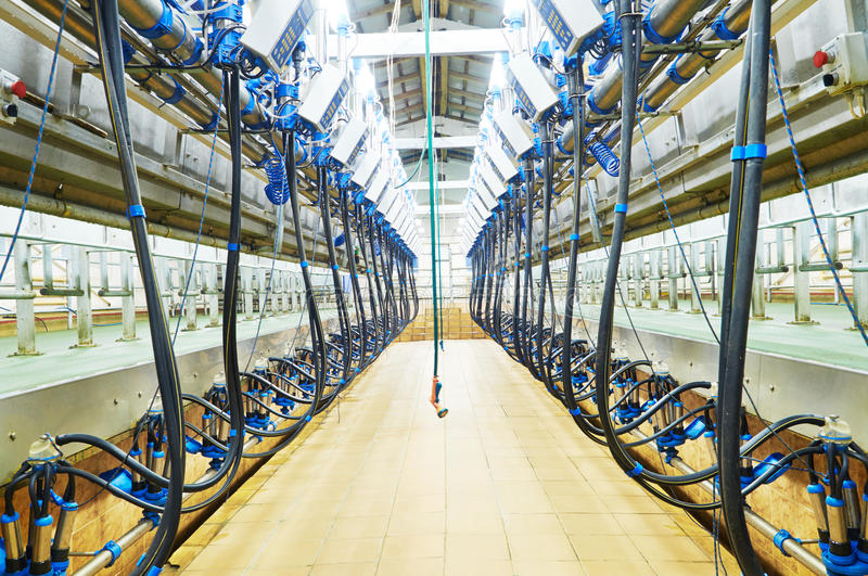 Modern dairy milking system farm stock images