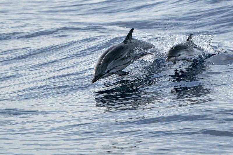 Modern och kalven behandla som ett barn randiga delfin, medan hoppa i det djupblå havet royaltyfri foto