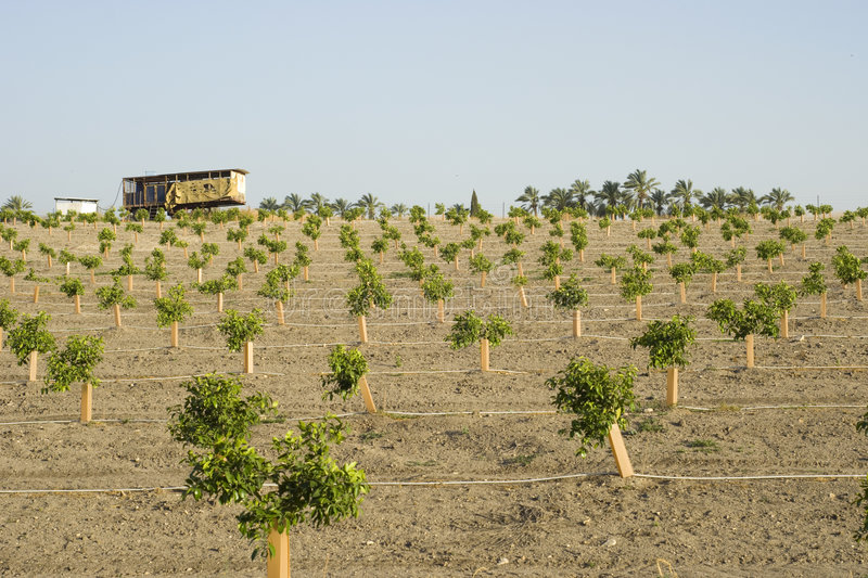 Modern Orange Grove. Young Orange Grove with modern irrigation system royalty free stock photo