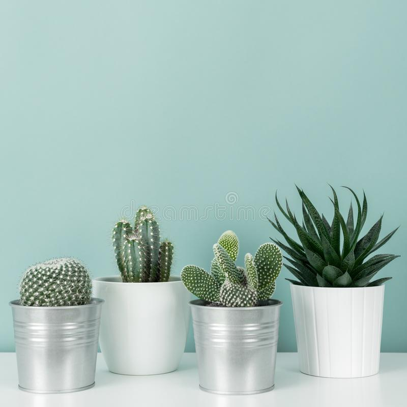 Collection of various potted cactus and succulent plants on white shelf against pastel turquoise colored wall. House plants. Modern room decoration. Collection stock photos