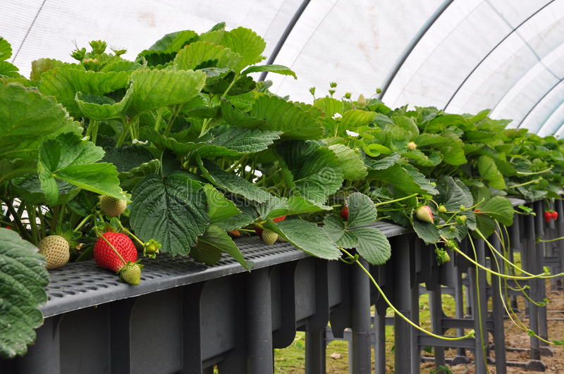 Modern strawberry farm. Industrial farming. Modern strawberry farm in Italy. Industrial berry farming in a greenhouse stock photography