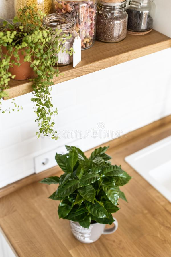 Modern white kitchen scandinavian style. View on white kitchen in scandinavian style, kitchen details, coffee tree plant on wooden table, white ceramic brick stock images
