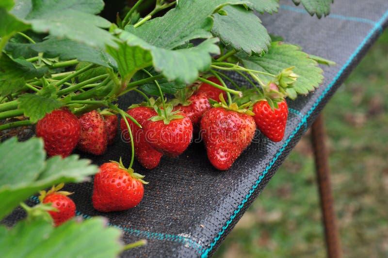 Moderner Erdbeerbauernhof Industrielle Landwirtschaft lizenzfreie stockfotografie