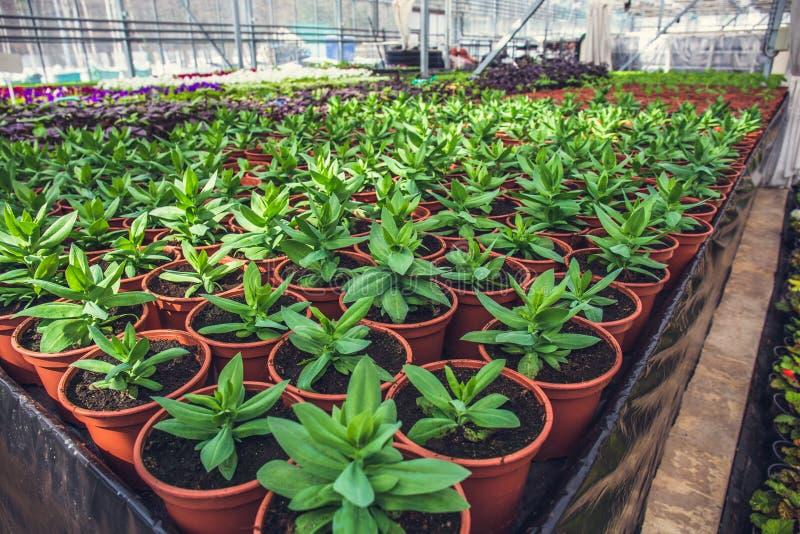 Modernes Wasserkulturgewächshaus im Sonnenlicht mit Klimaregelung, Bearbeitung von Seedings, Blumen Industrieller Gartenbau lizenzfreies stockfoto