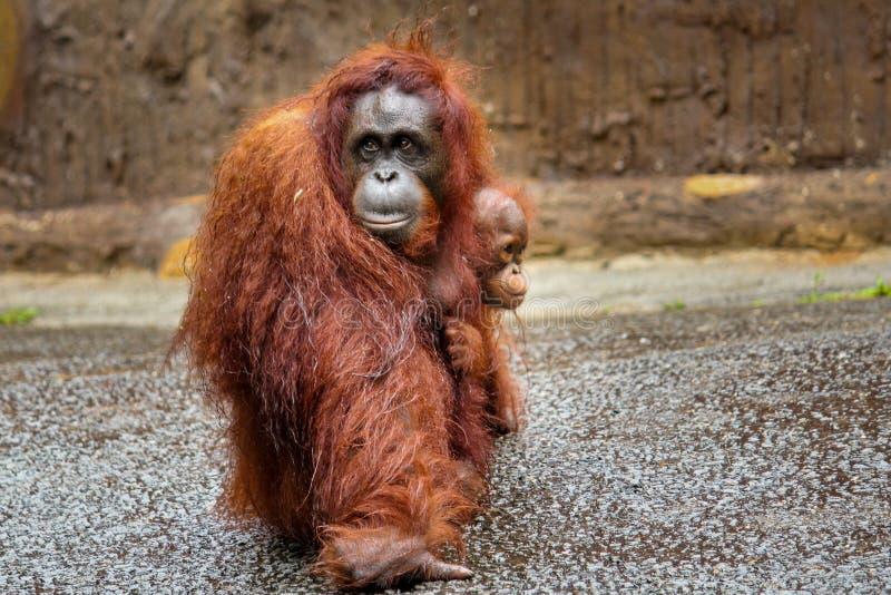 Moderorangutanget som går med, behandla som ett barn orangutanget som håller fast vid på arkivbild