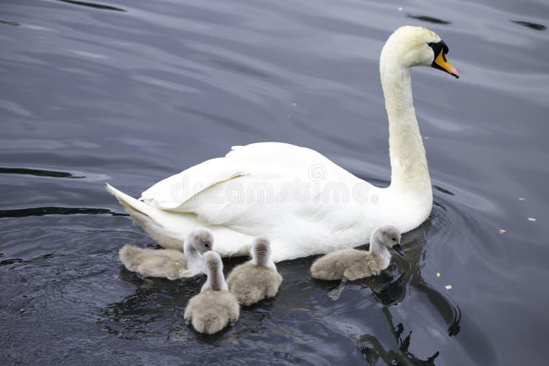 Modersvan med fyra unga svanar arkivfoton
