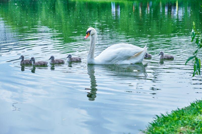 Modersvanen med några gamla unga svanar för dagar behandla som ett barn svanar som fridfullt simmar, i linje, över ett damm arkivfoton