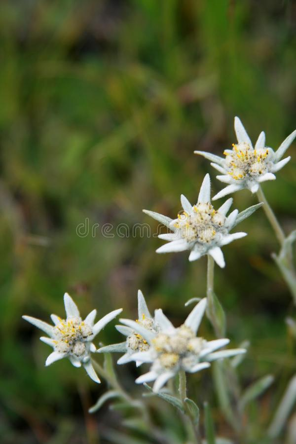 The modest alpine edelweiss flower against stock image