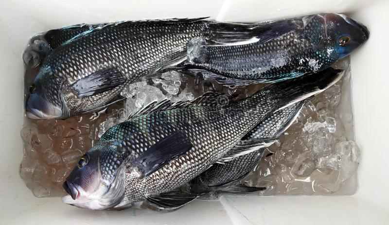 Modest Black Sea Bass Catch royalty free stock images
