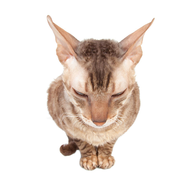 Modest cat sits turn tail royalty free stock image