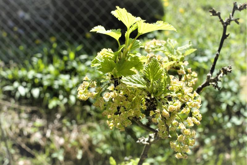 Modest inflorescence of black currant in early spring. stock photography