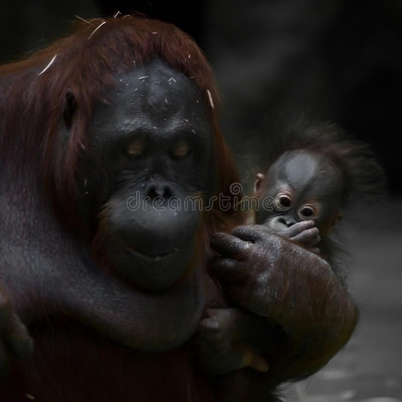 A modest mother monkey orangutan lowered her eyes, in the arms of her cute infant baby with big eyes royalty free stock image