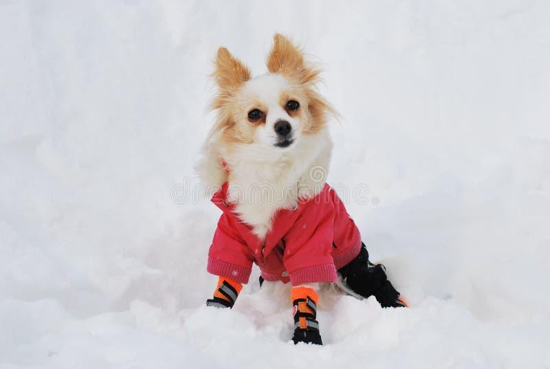Modieuze Chihuahua stock fotografie
